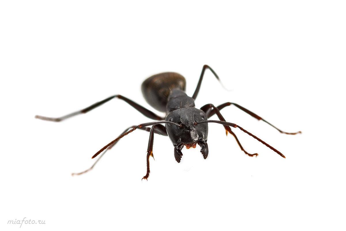 Агрессивный лесной муравей - Николай Мелонов