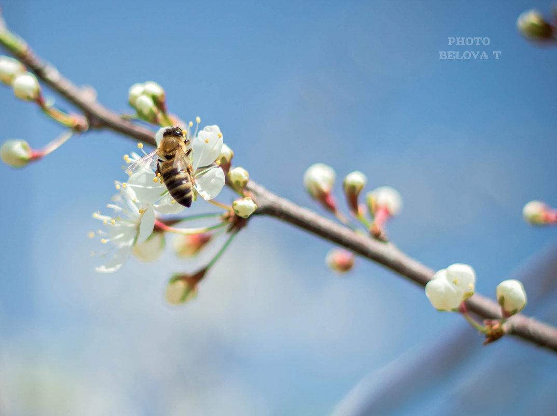 слива цветет - Tatyana Belova