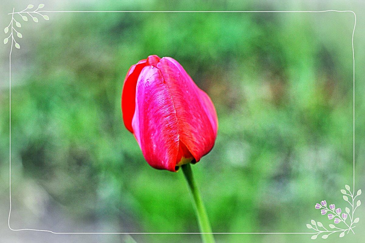 Майский тюльпан. - Натали