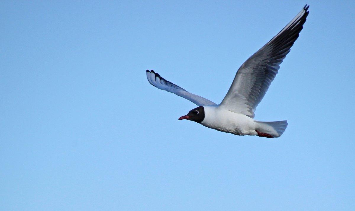 речная чайка - оксана