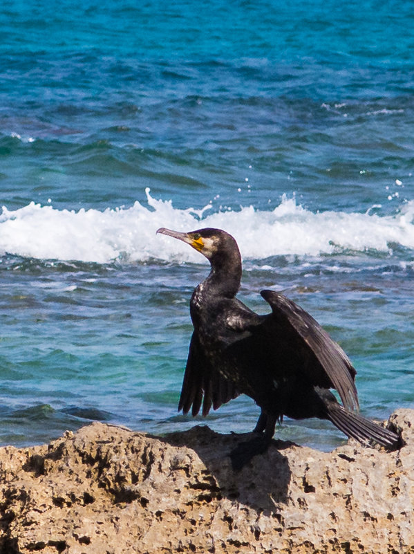 Морская птица в средиземном море. - Лада