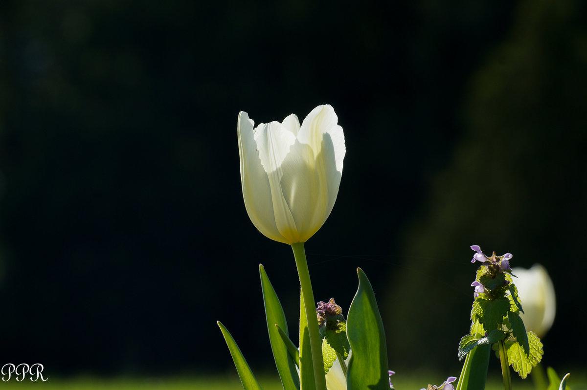 Белый тюльпан - Павел Руденко