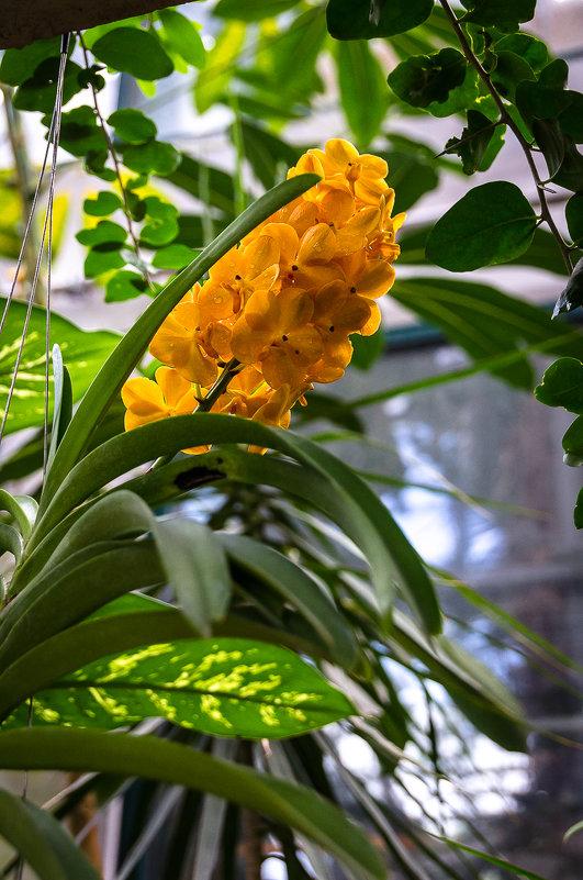орхидеи цветут - Лариса *