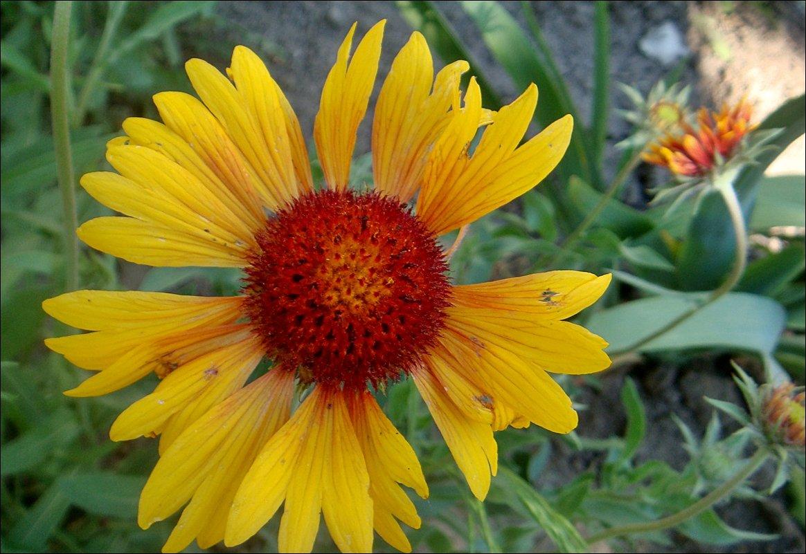 Гайлардия крупноцветковая смесь выращивание из семян 33