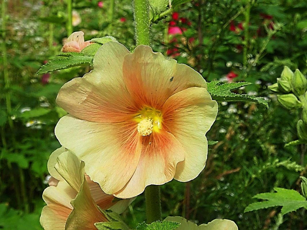 Мальва - кремовый цветок - Маргарита Батырева