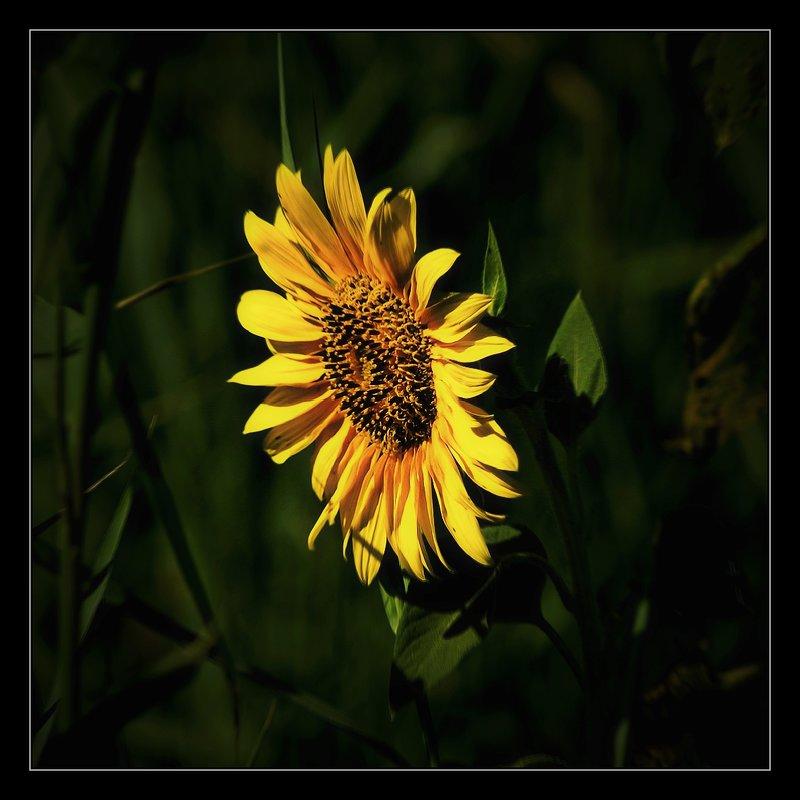 Цветок солнца... - владимир