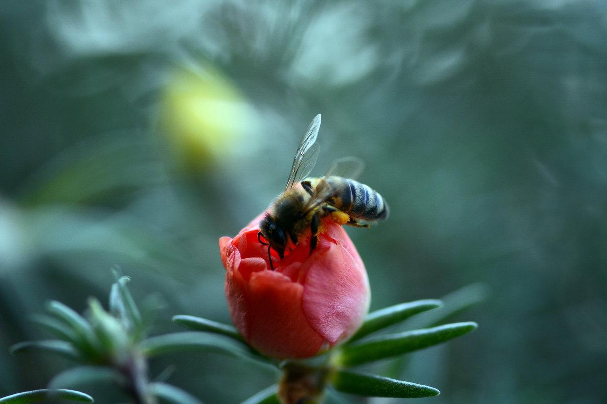 Пчела на портулаке - Олег Шендерюк