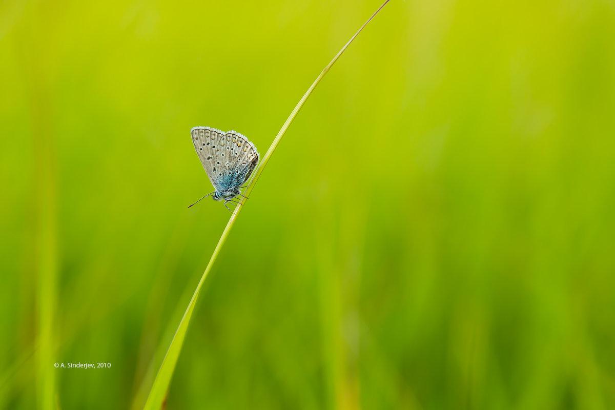Бабочка голубянка - Александр Синдерёв