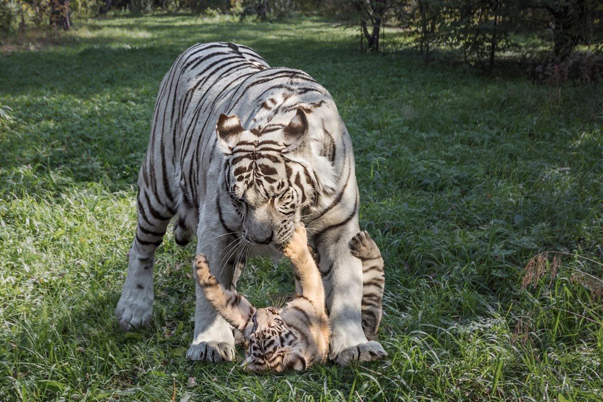 Тигры - Nn semonov_nn