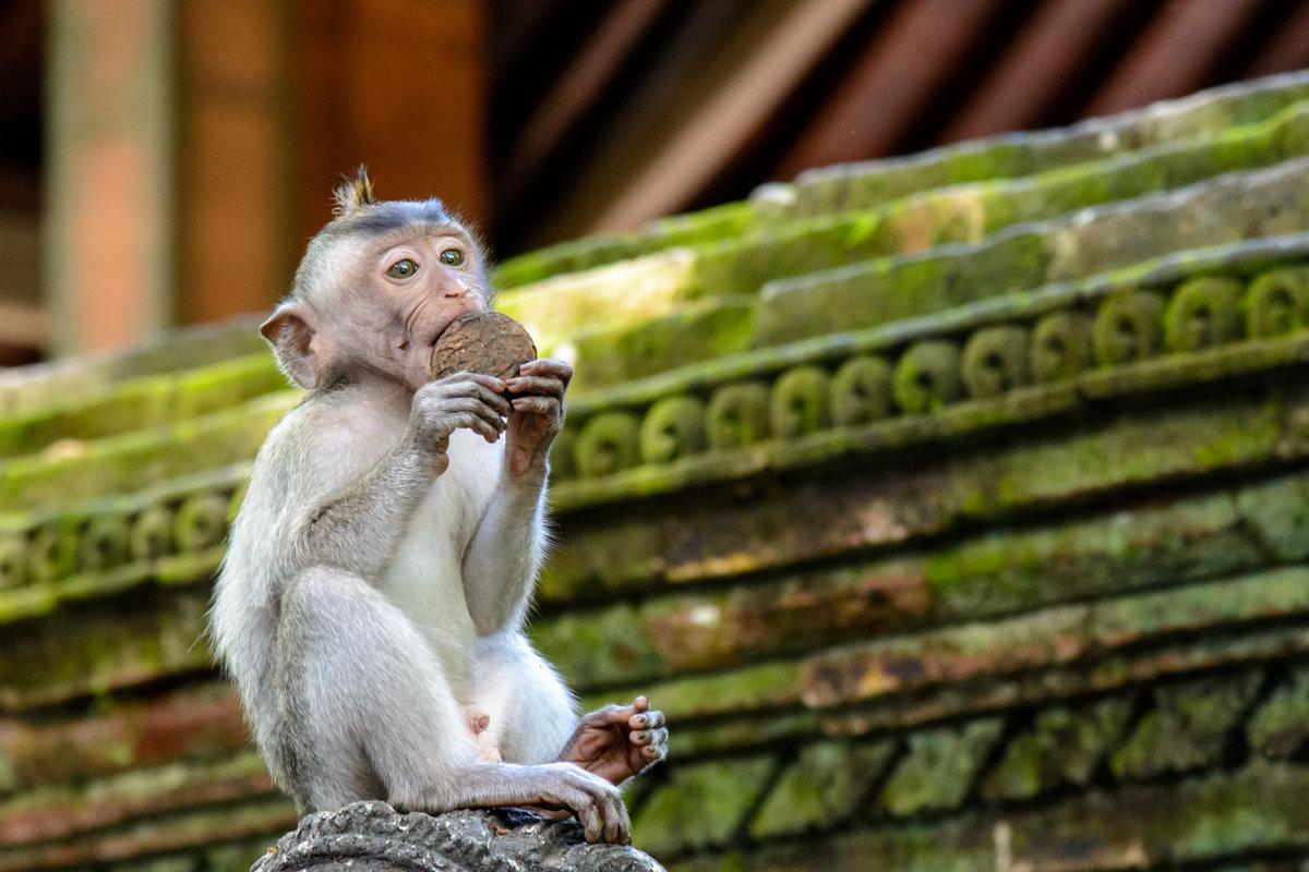 """Портрет"" мартышки. Monkey Forest. Bali - Sanjar Agzamov"