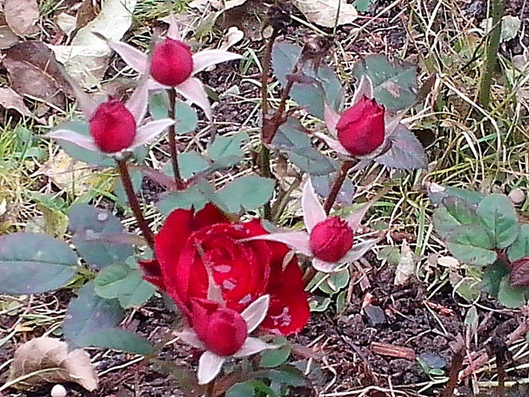 Дачные зарисовки. Карликовая  роза продолжает  цвести  и в холод! - Виталий Селиванов