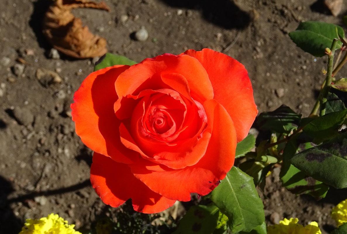 Осенняя роза - татьяна