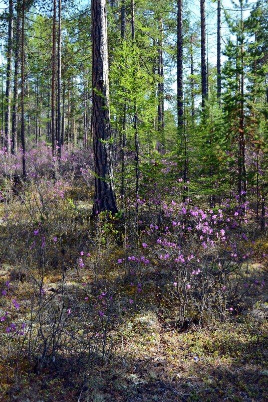 Весенний лес Сибири - Ольга