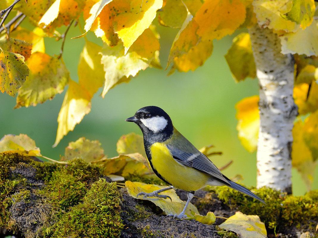 Осенняя синица - Влад