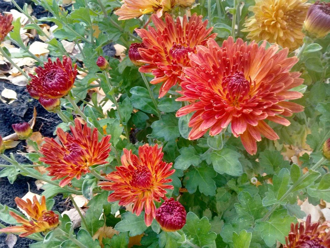 Осенние, последние цветы.. - Чария Зоя