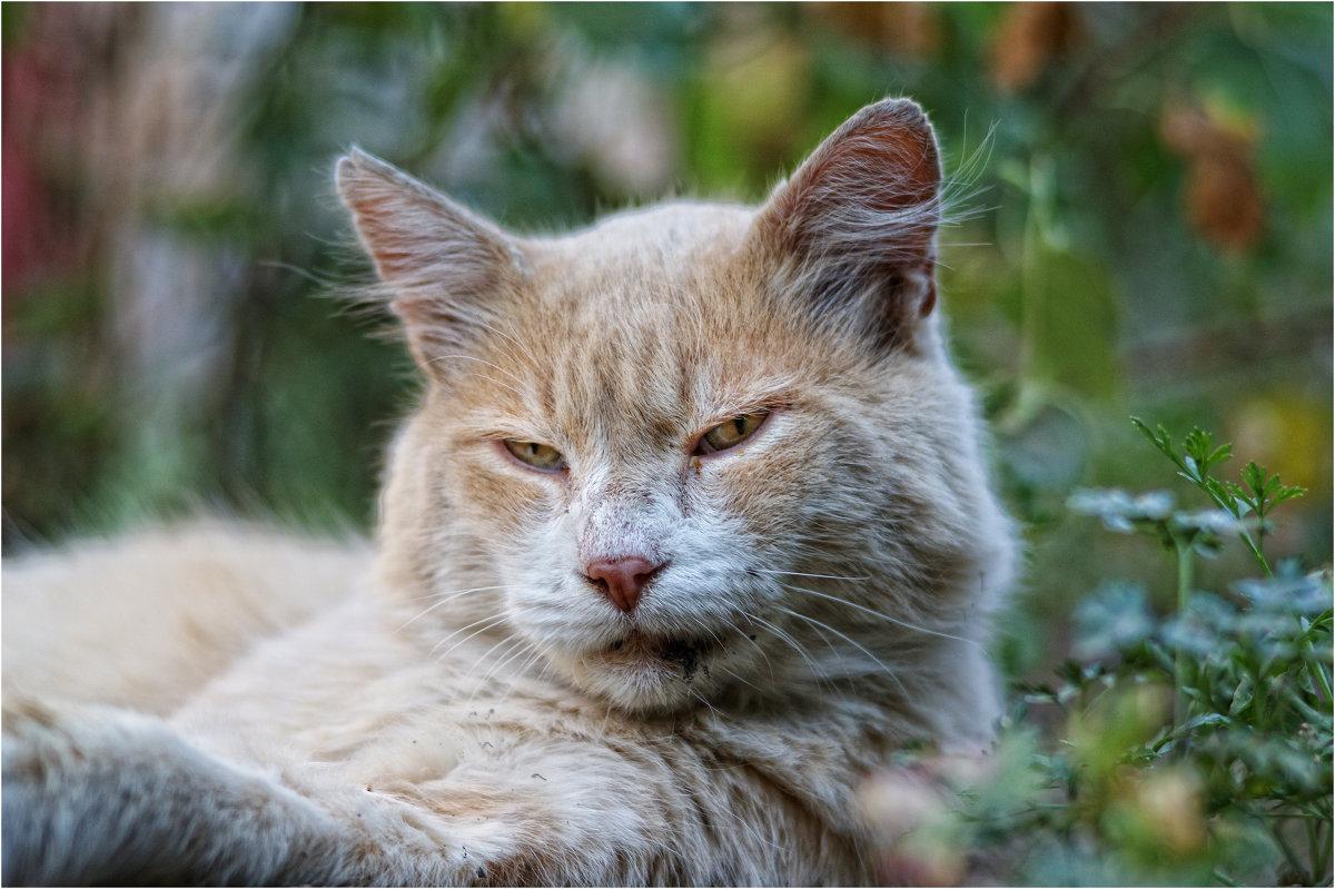 Дворовой кот Перс на отдыхе... - Сергей Порфирьев