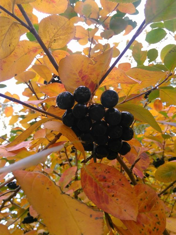 Черная рябина на золотых листьях - Аlexandr Guru-Zhurzh