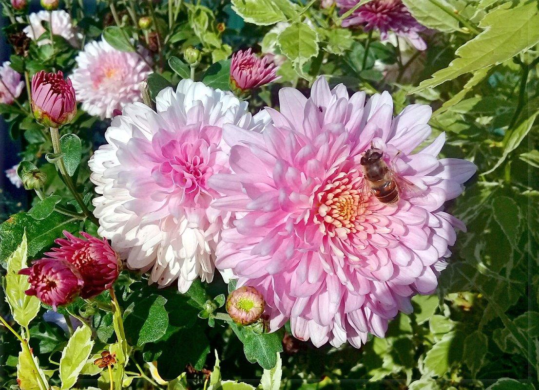 Последние, осенние цветы... - Чария Зоя