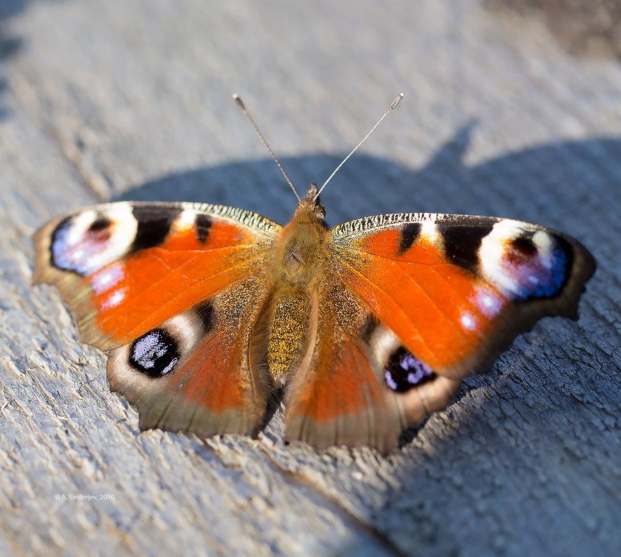 Бабочка павлиний глаз - Александр Синдерёв