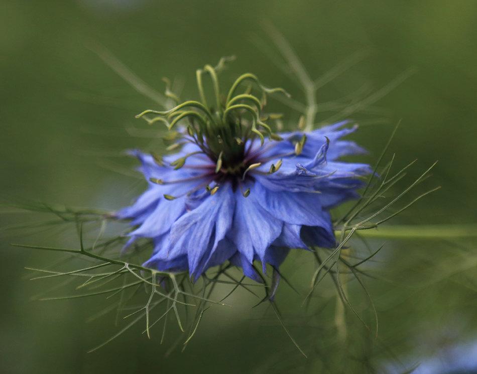 Синенький цветочек - Татьяна Панчешная