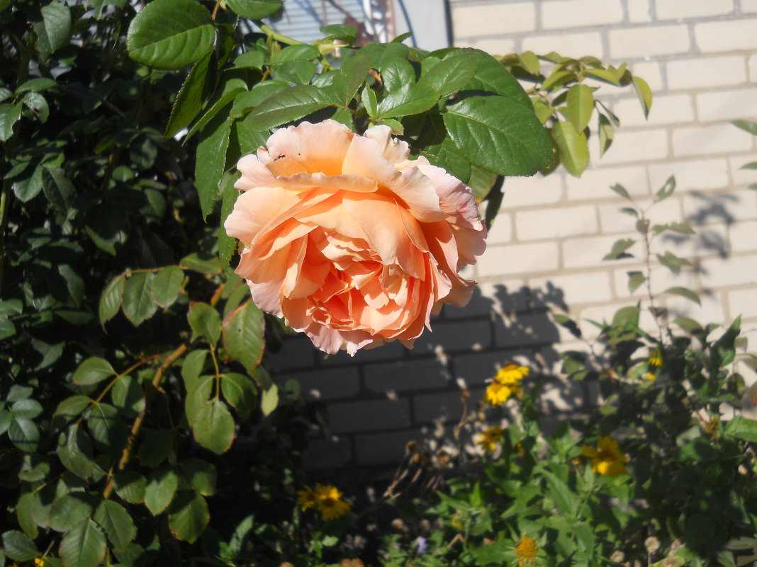 Роза в октябре - Галина