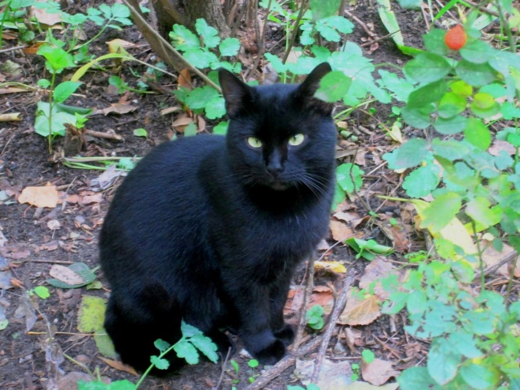 Чёрный кот от усов до хвоста... - Самохвалова Зинаида