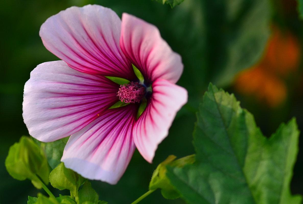 Цветок малопы - Татьяна Соловьева