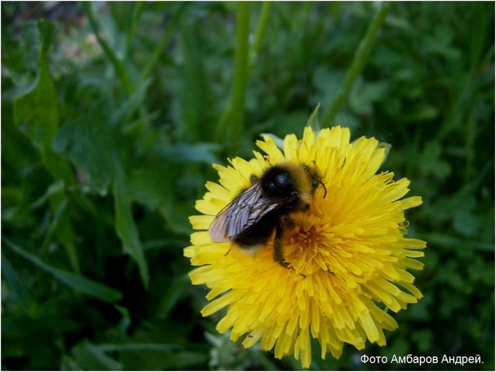 Пчела и одуванчик - Андрей
