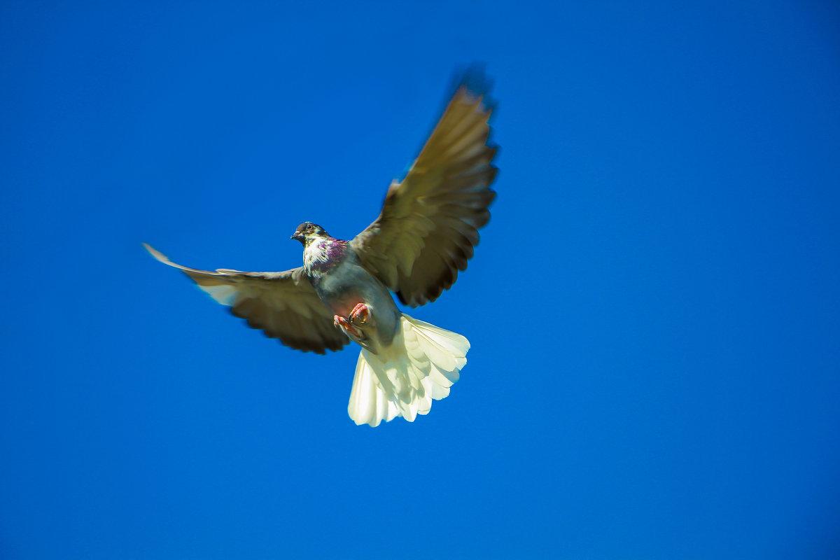 Николаевские голуби.Ашхабад(Абадан) - Volodya
