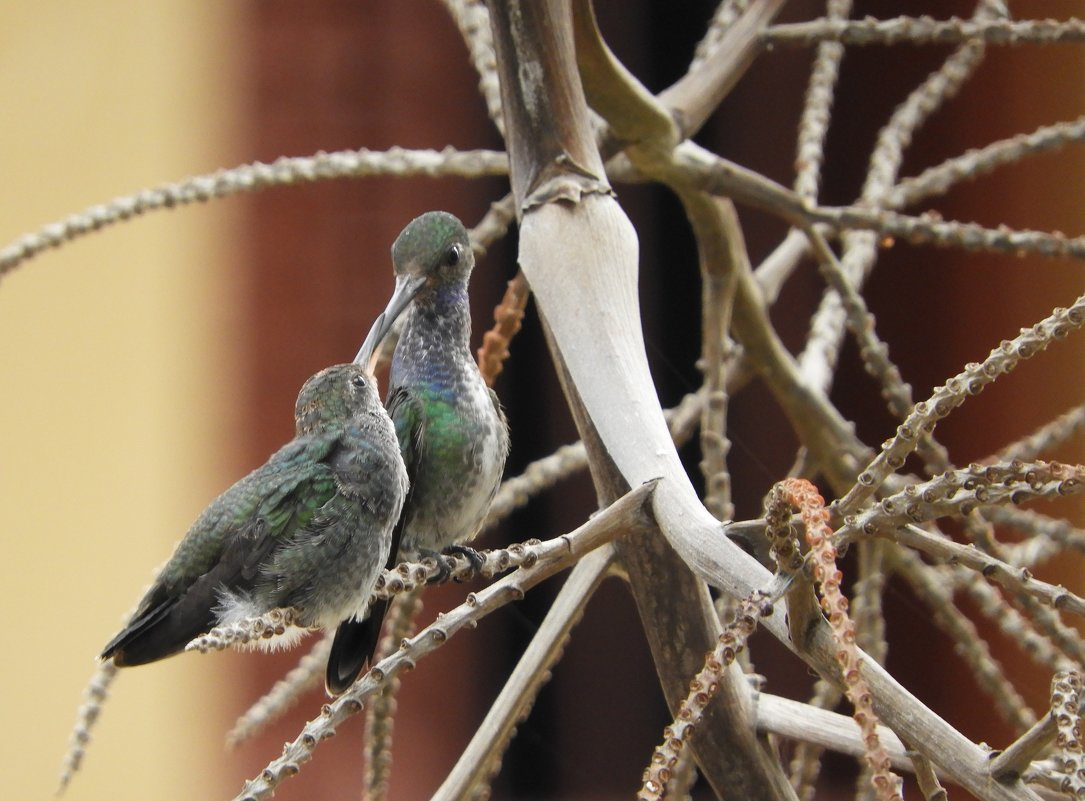 Колибри - чудинова ольга
