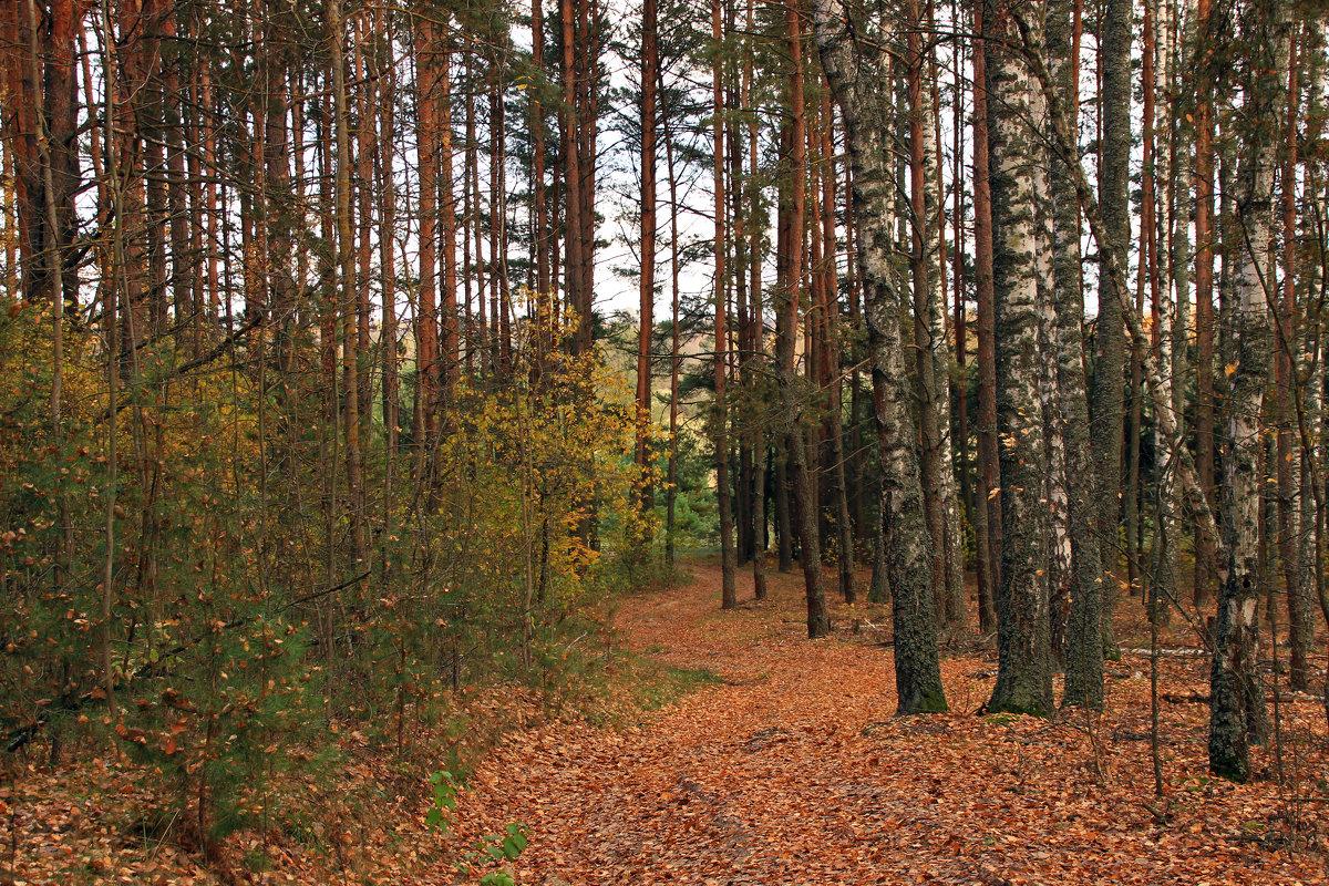 извилиста дорога в березняке - оксана