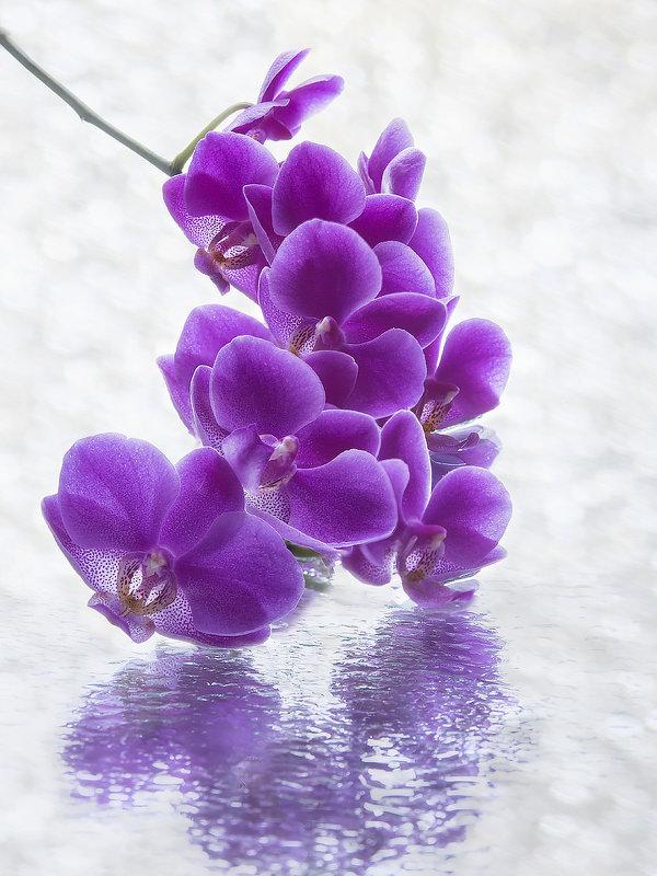 Цветущая ветка орхидеи на мокром стекле - Ирина Приходько
