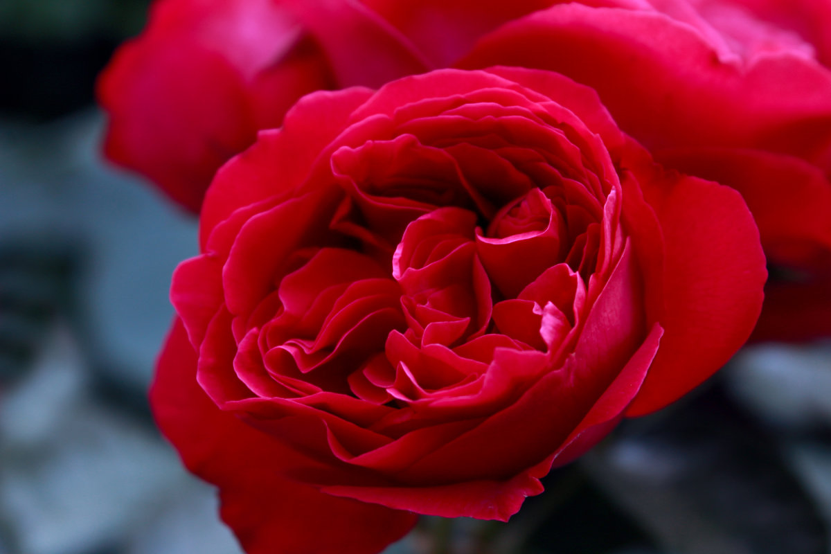 Пионовидная роза - Алёна Дедовец