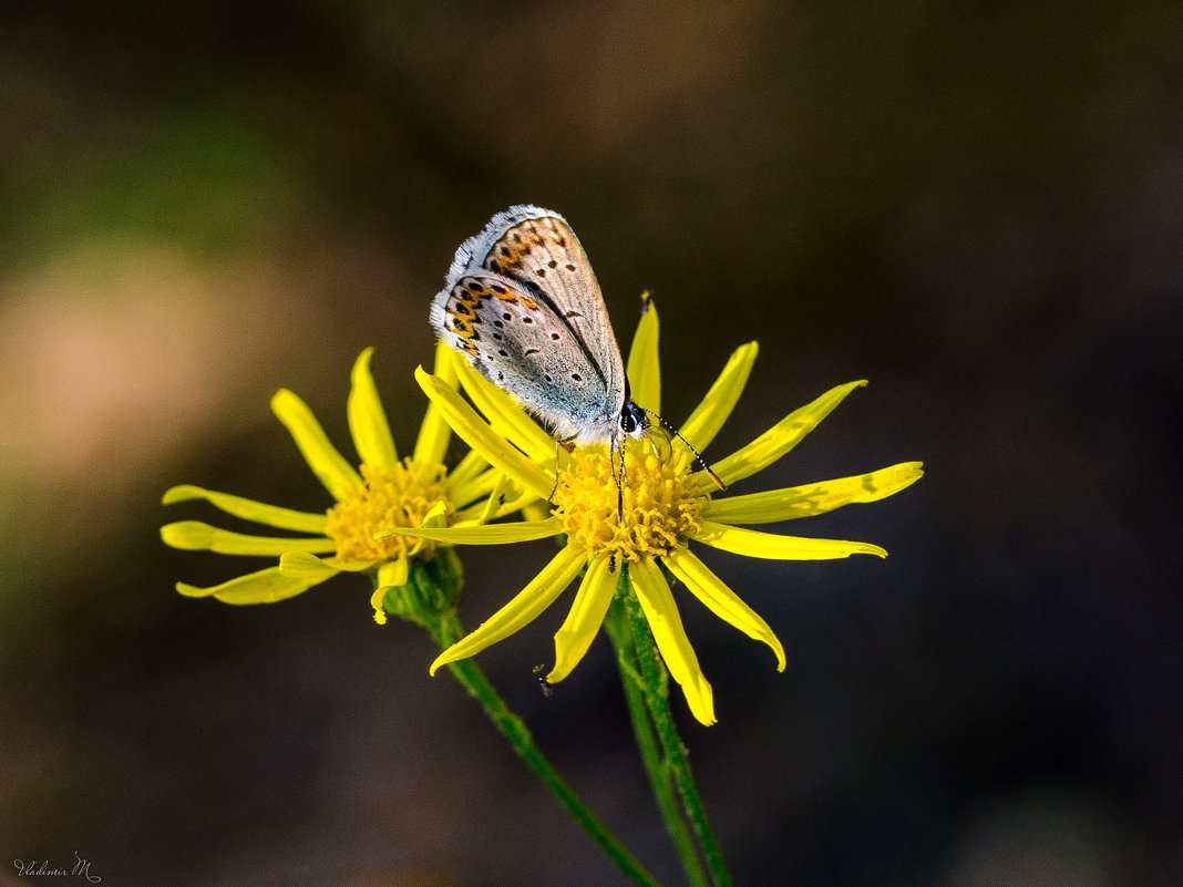 Маленькая бабочка. - Владимир M