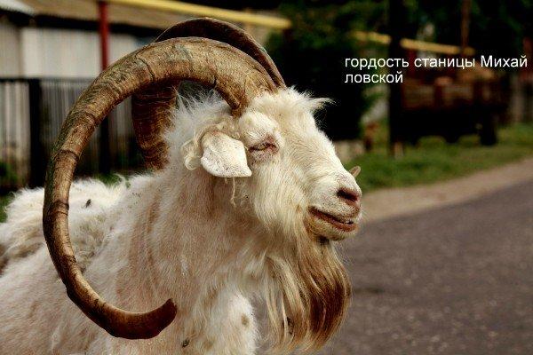 О козлах... - Анатолий Мартынюк