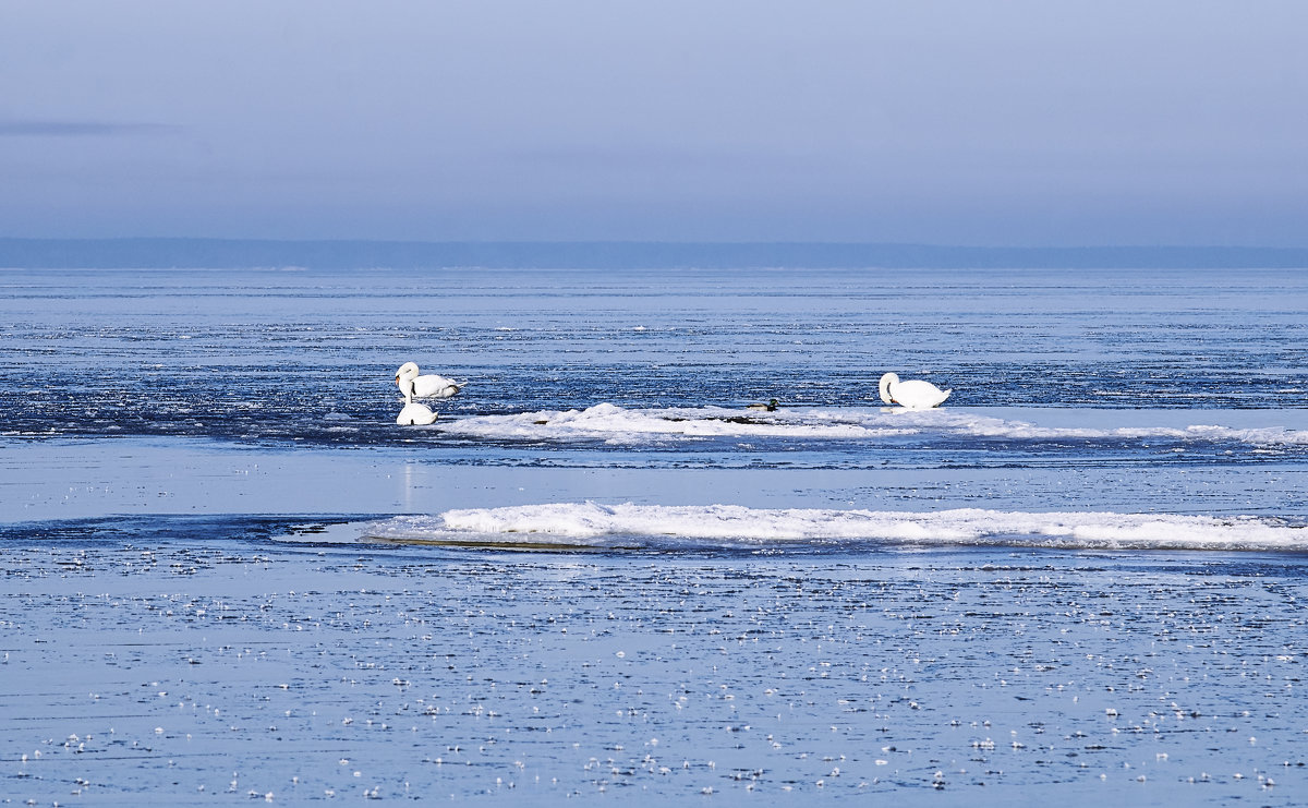 Лебеди во льдах - Helga Preiman