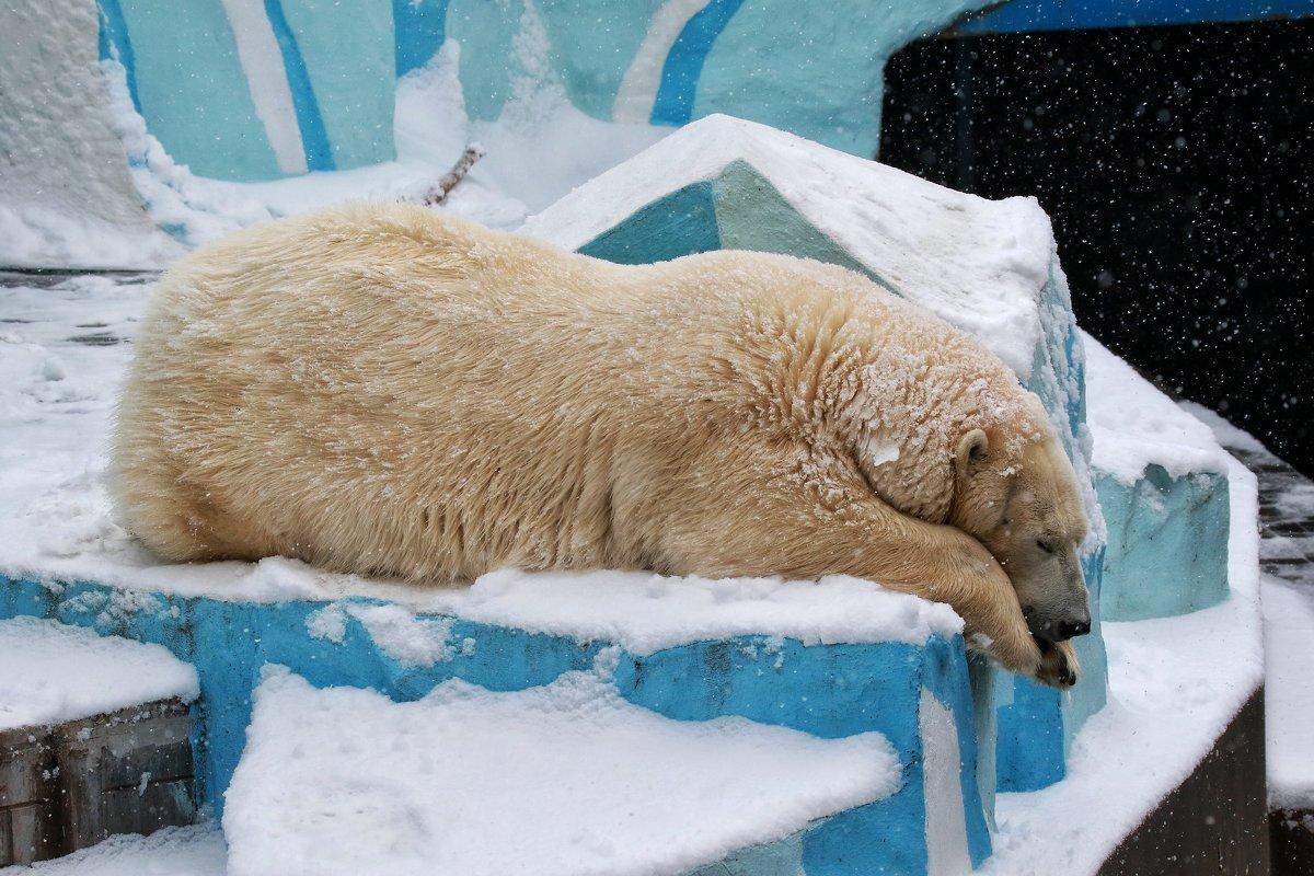 Белый медведь в Новосибирском зоопарке - Владимир Шадрин