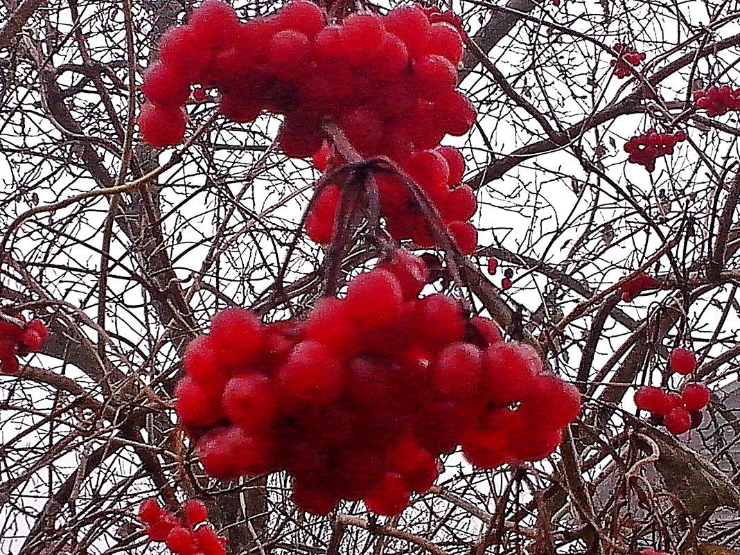 Калина в  саду   зябла на  ветру! (Дачное  утро) - Виталий Селиванов