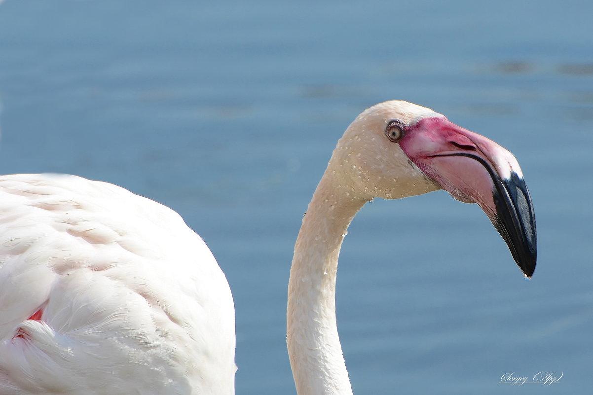 Фламинго - Paparazzi