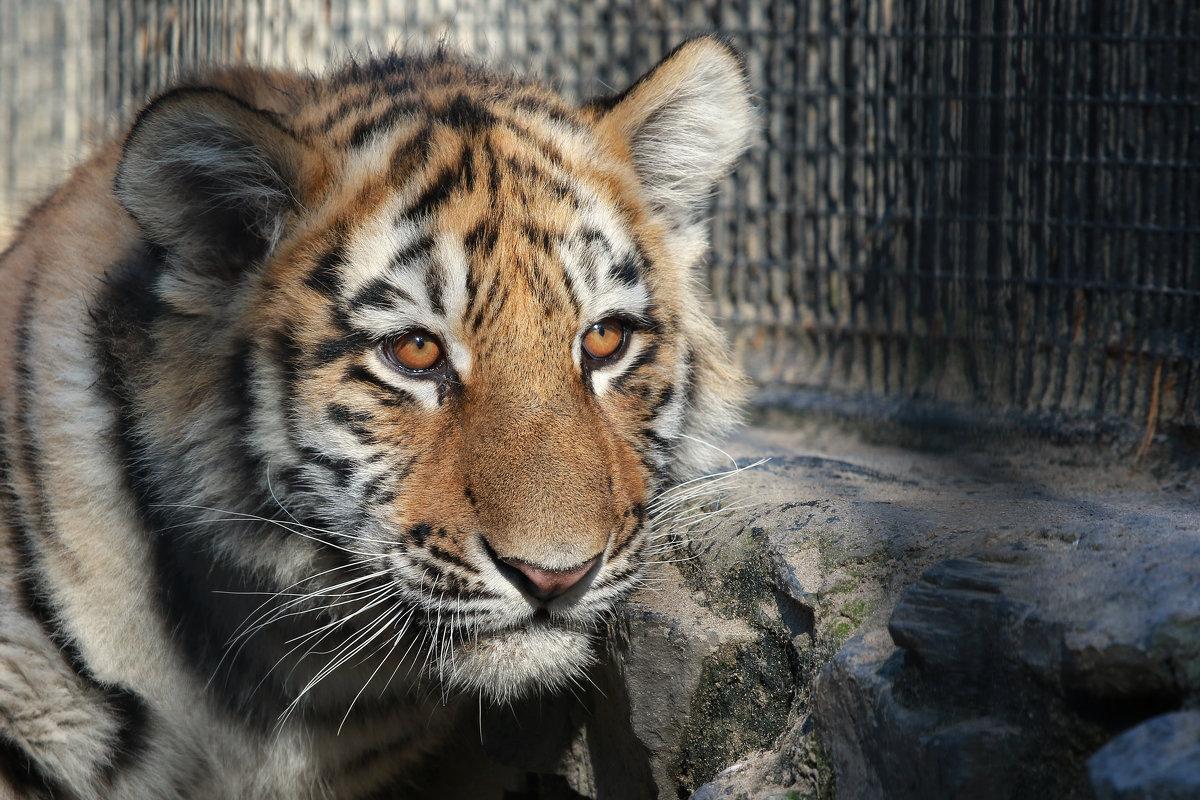 Амурский тигр - Владимир Шадрин
