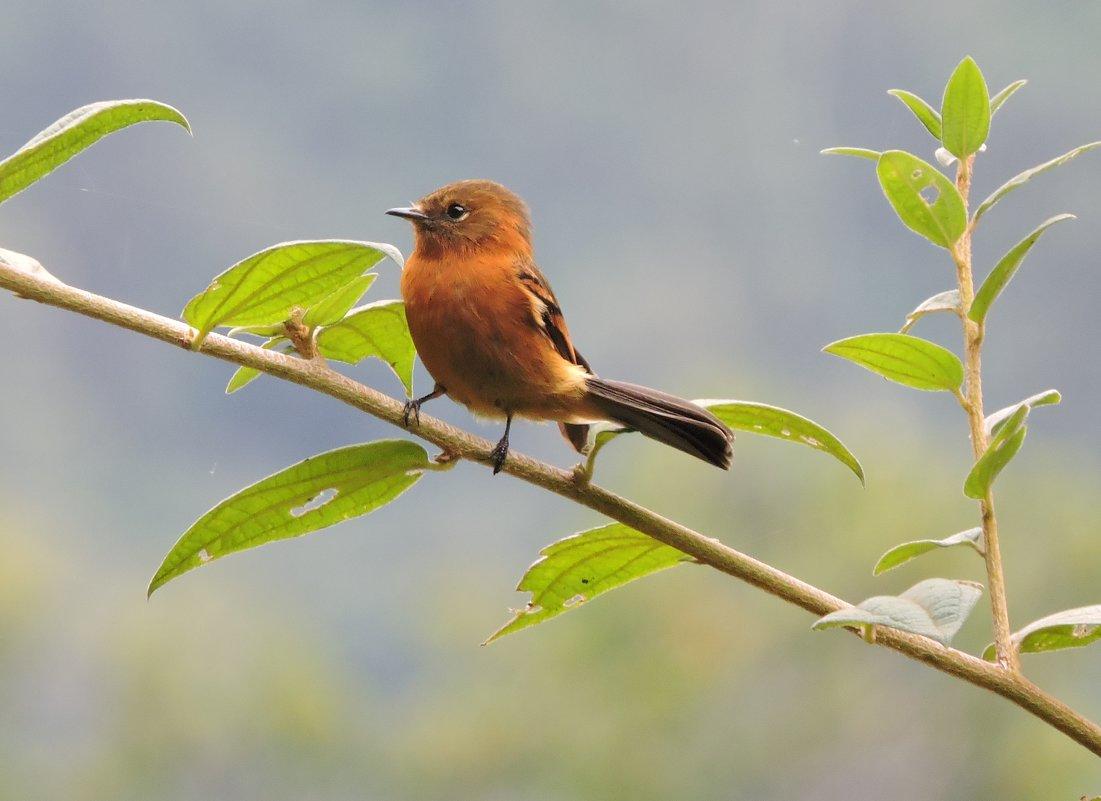 Cinnamon Flycatcher - чудинова ольга