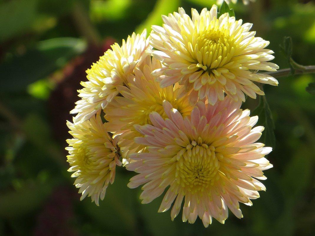Пахнет хризантемами в саду - Татьяна Смоляниченко