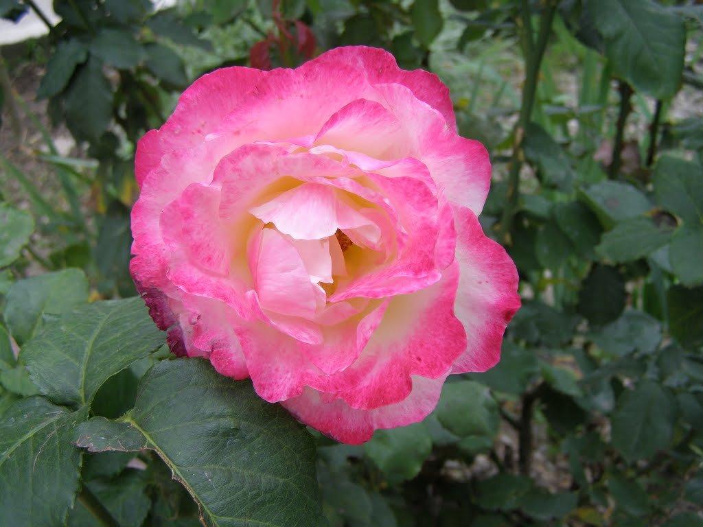 Роза в монастырском саду - Анна Воробьева