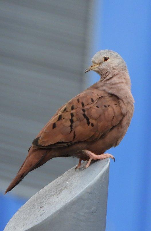 Ruddy-ground Dove - чудинова ольга