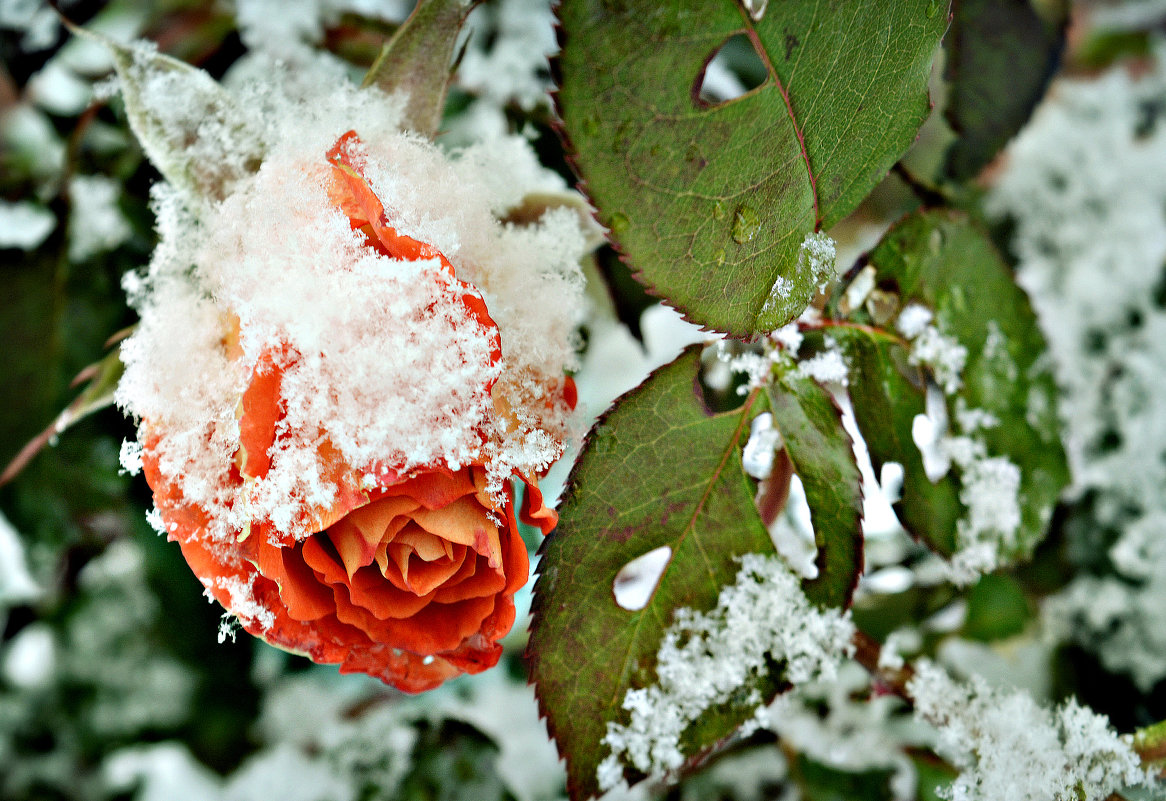Роза на снегу - Lanna