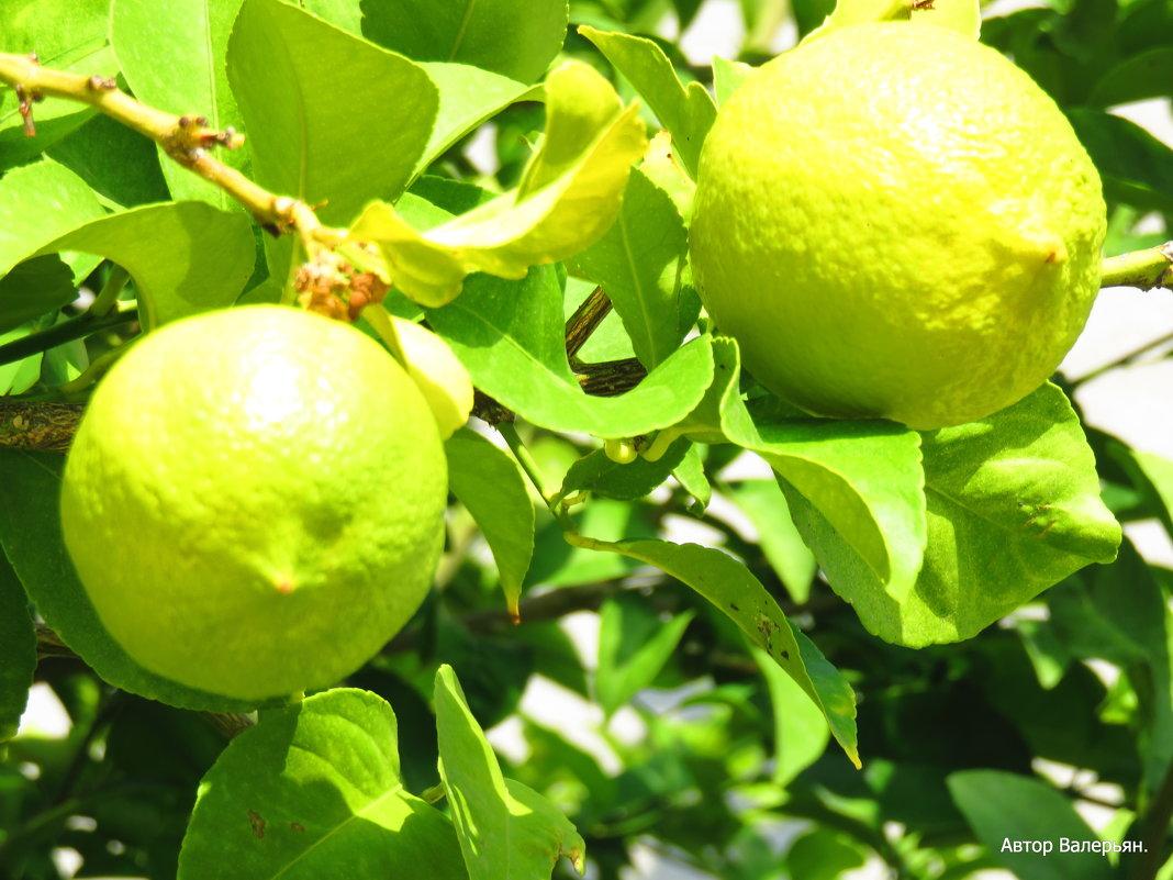 Лимоны. - Валерьян Запорожченко