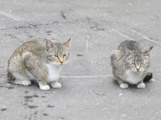 Две обычных серых кошки - Дмитрий Никитин