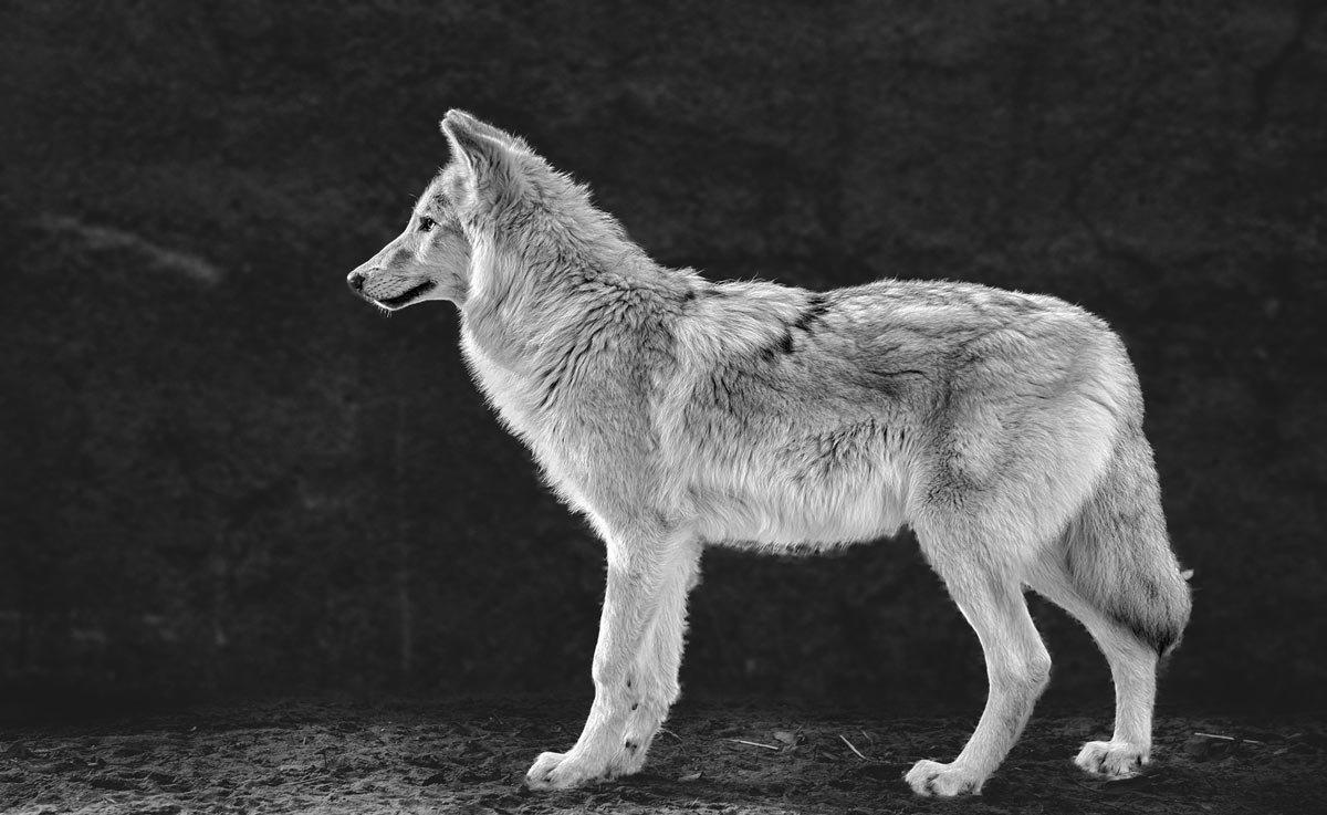 Белый волк - Nn semonov_nn