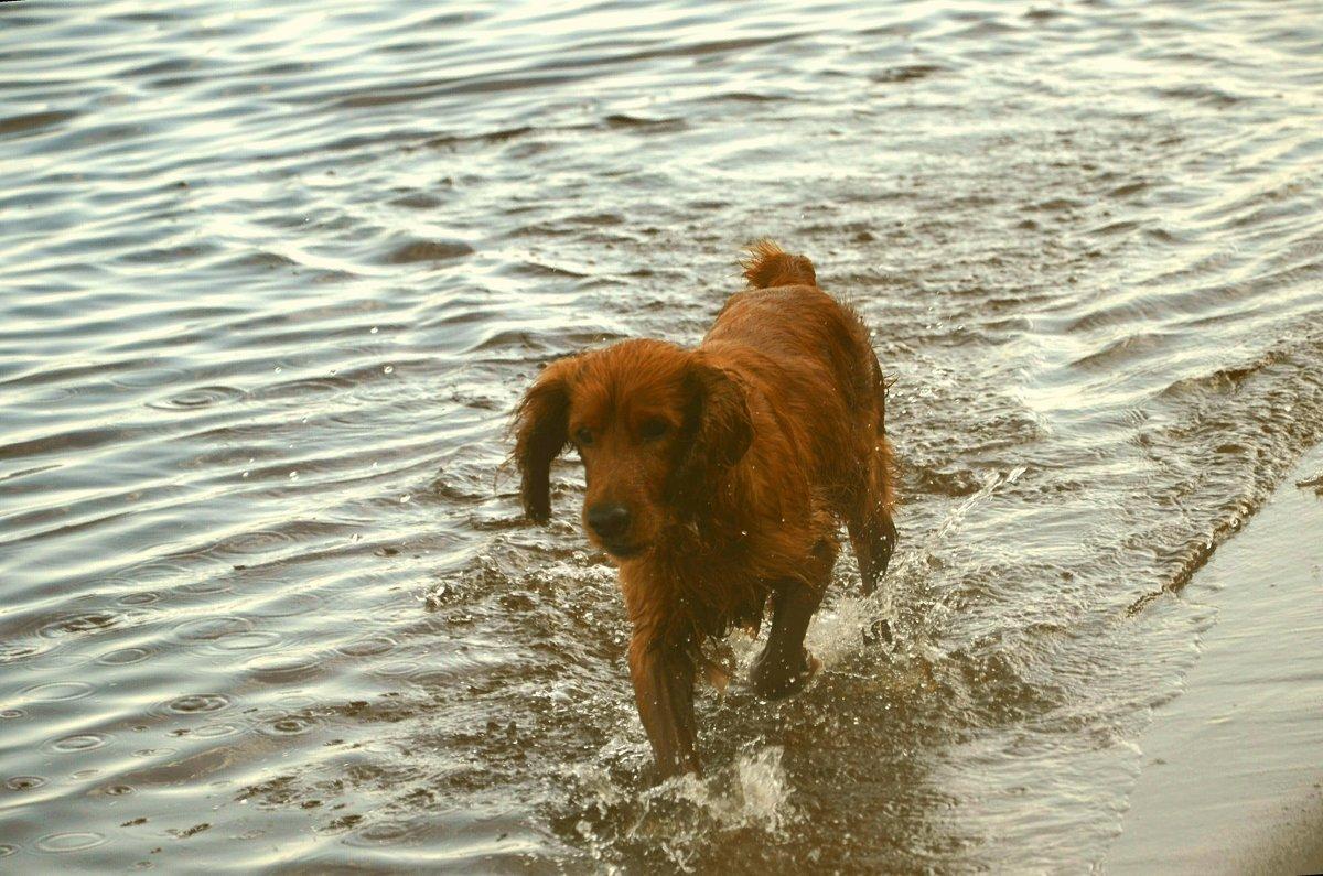 Рыжая собака - demyanikita