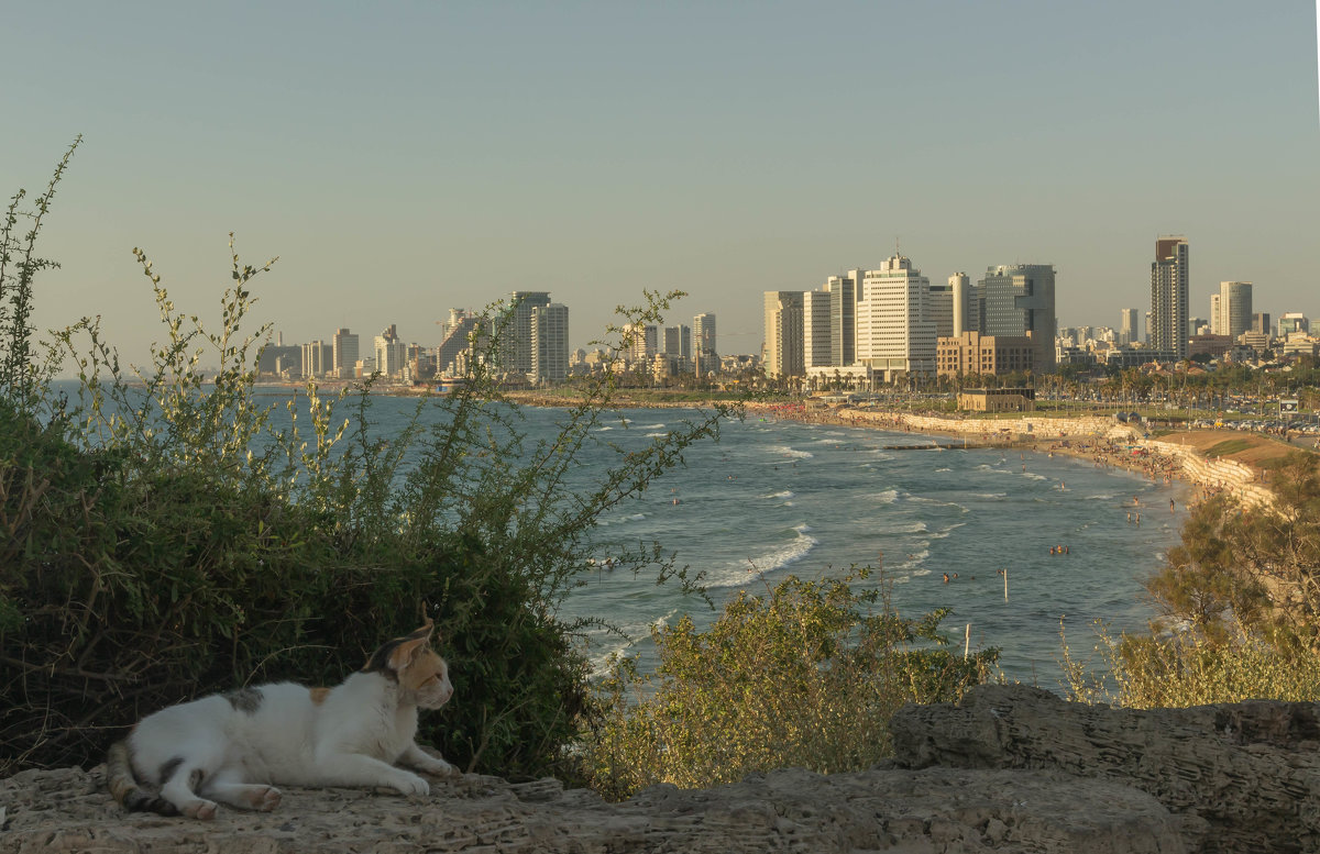 Трехцветная кошка на фоне закатной морской панорамы Тель-Авива - Александра